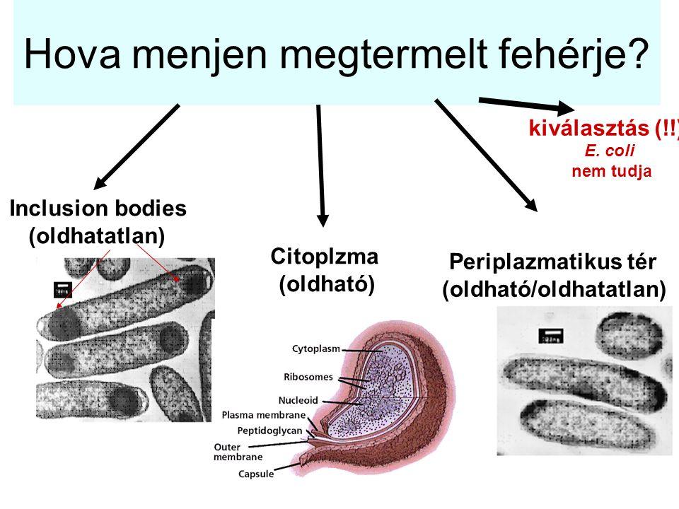 Hova menjen megtermelt fehérje? Inclusion bodies (oldhatatlan) Citoplzma (oldható) Periplazmatikus tér (oldható/oldhatatlan) kiválasztás (!!) E. coli