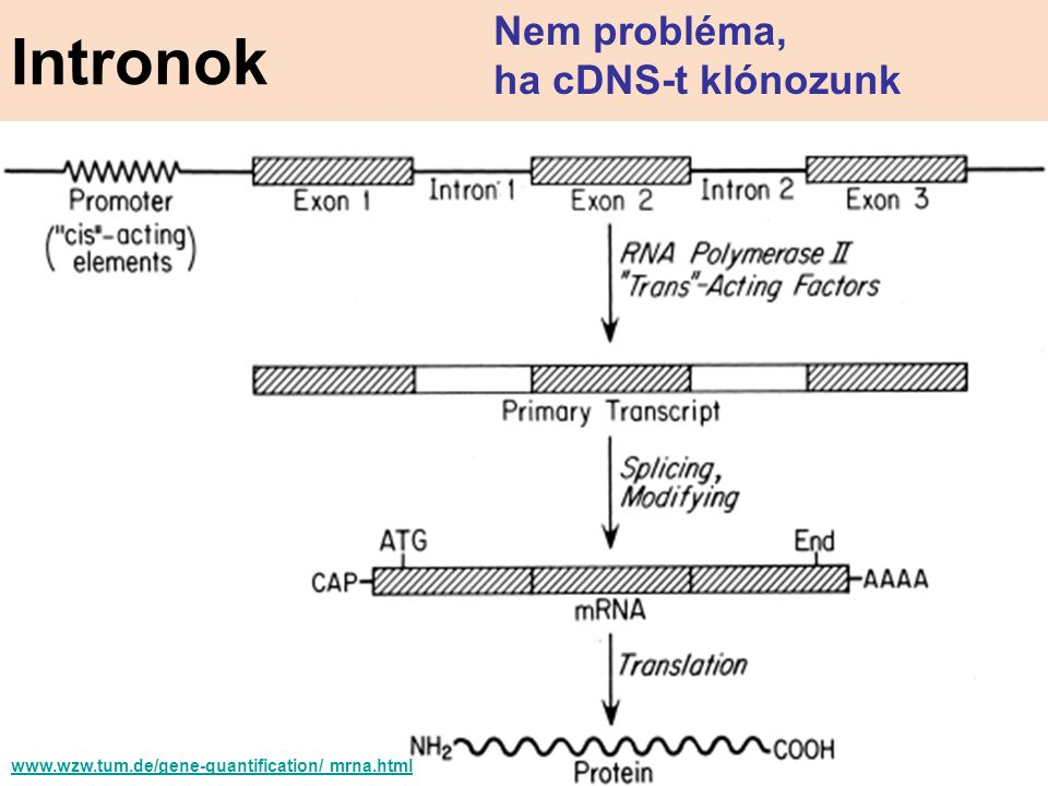 www.wzw.tum.de/gene-quantification/ mrna.html Intronok Nem probléma, ha cDNS-t klónozunk