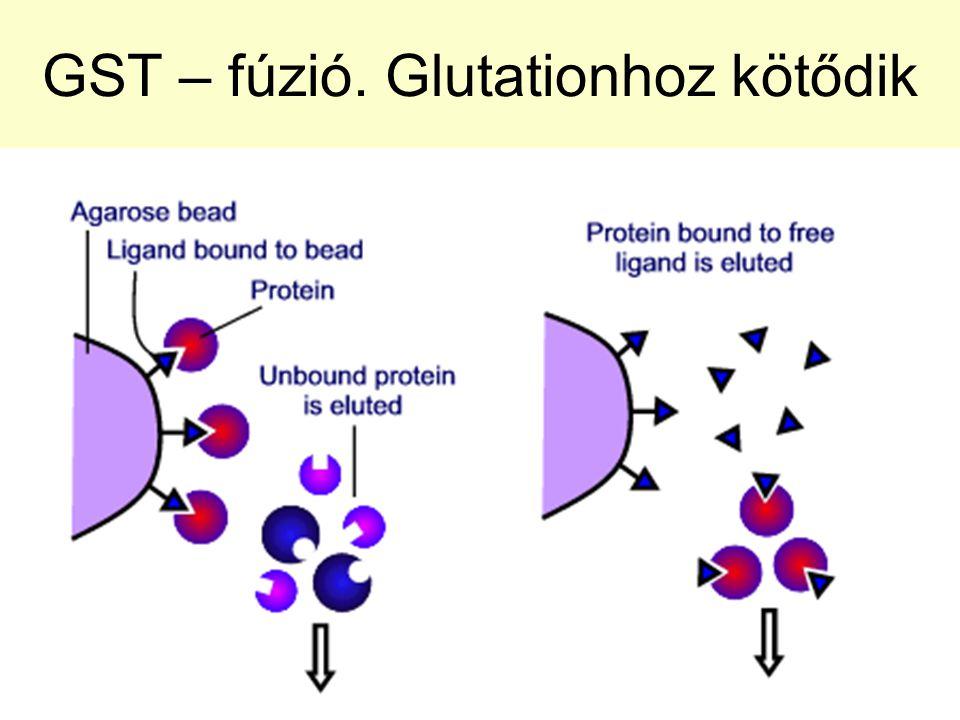 GST – fúzió. Glutationhoz kötődik