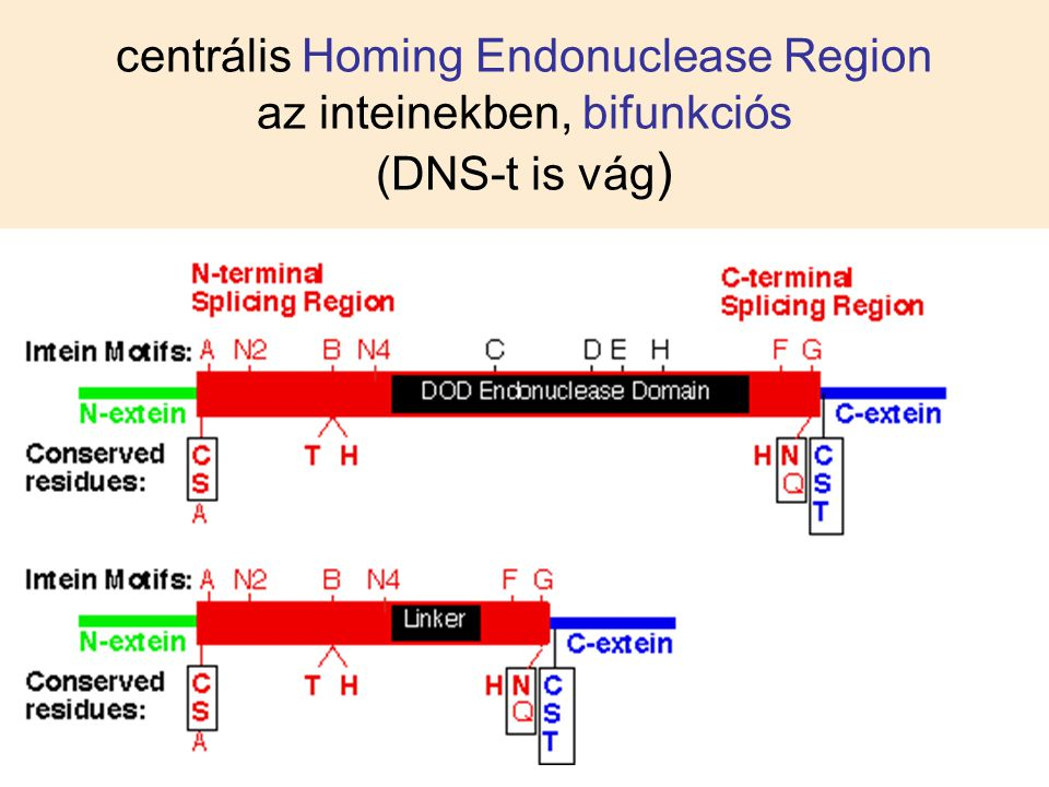 centrális Homing Endonuclease Region az inteinekben, bifunkciós (DNS-t is vág )
