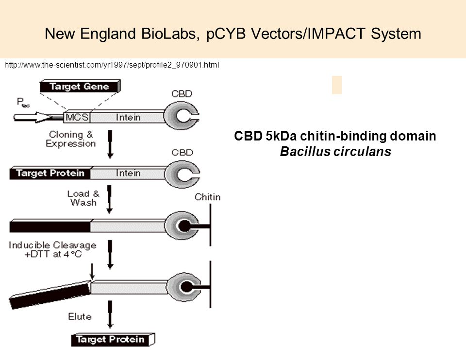 New England BioLabs, pCYB Vectors/IMPACT System CBD 5kDa chitin-binding domain Bacillus circulans http://www.the-scientist.com/yr1997/sept/profile2_97