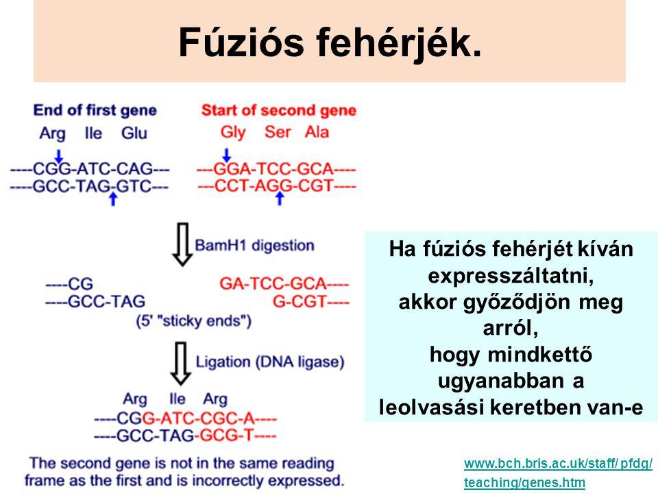 Fúziós fehérjék. Ha fúziós fehérjét kíván expresszáltatni, akkor győződjön meg arról, hogy mindkettő ugyanabban a leolvasási keretben van-e www.bch.br