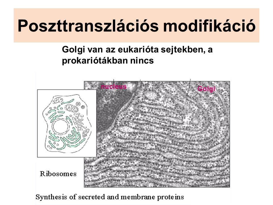 Poszttranszlációs modifikáció Golgi van az eukarióta sejtekben, a prokariótákban nincs nucleus Golgi