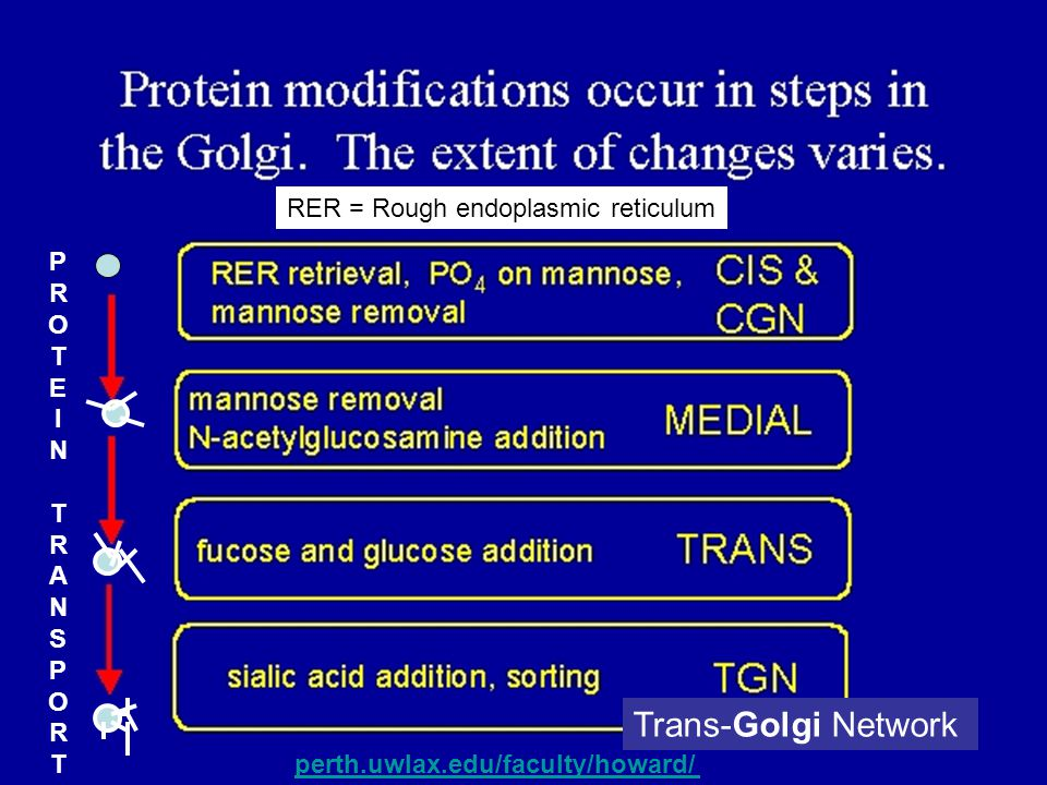 Trans-Golgi Network RER = Rough endoplasmic reticulum perth.uwlax.edu/faculty/howard/ PROTEINTRANSPORTPROTEINTRANSPORT