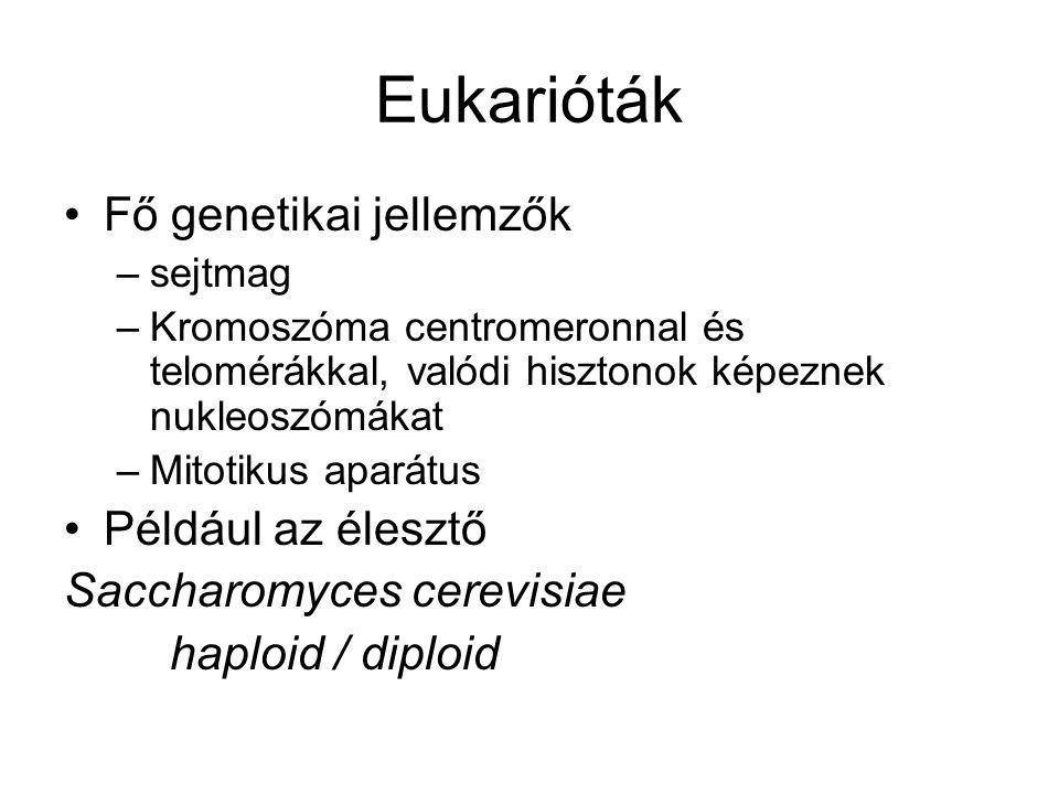 Eukarióták Fő genetikai jellemzők –sejtmag –Kromoszóma centromeronnal és telomérákkal, valódi hisztonok képeznek nukleoszómákat –Mitotikus aparátus Pé