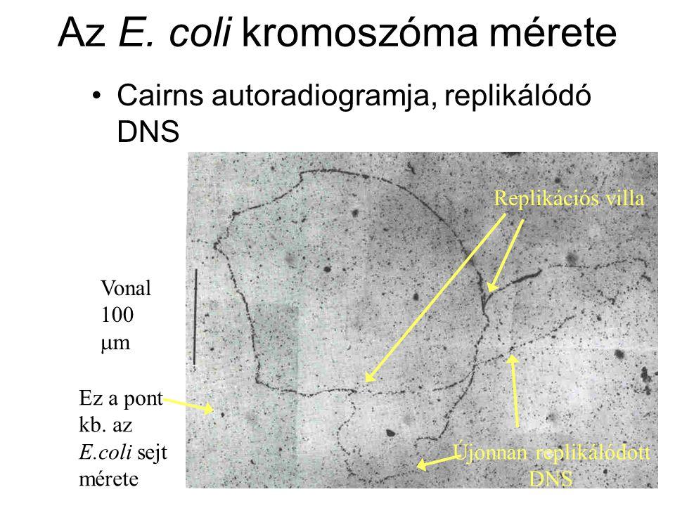 Az E. coli kromoszóma mérete Cairns autoradiogramja, replikálódó DNS Replikációs villa Újonnan replikálódott DNS Vonal 100  m Ez a pont kb. az E.coli