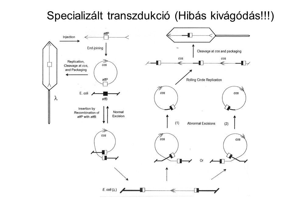 Specializált transzdukció (Hibás kivágódás!!!)