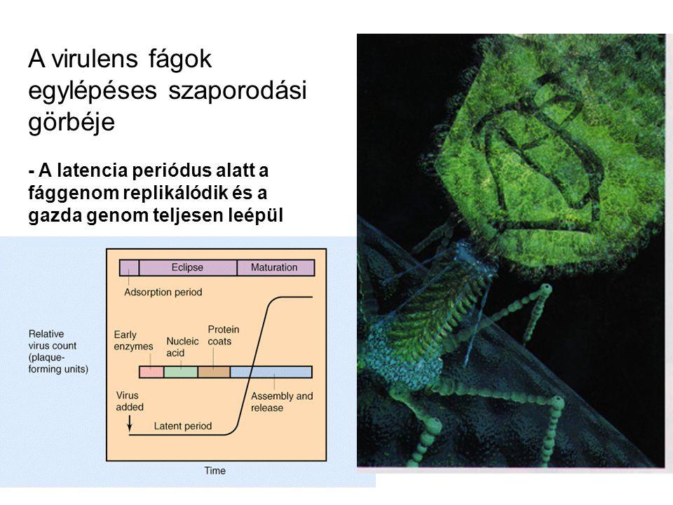 A virulens fágok egylépéses szaporodási görbéje - A latencia periódus alatt a fággenom replikálódik és a gazda genom teljesen leépül
