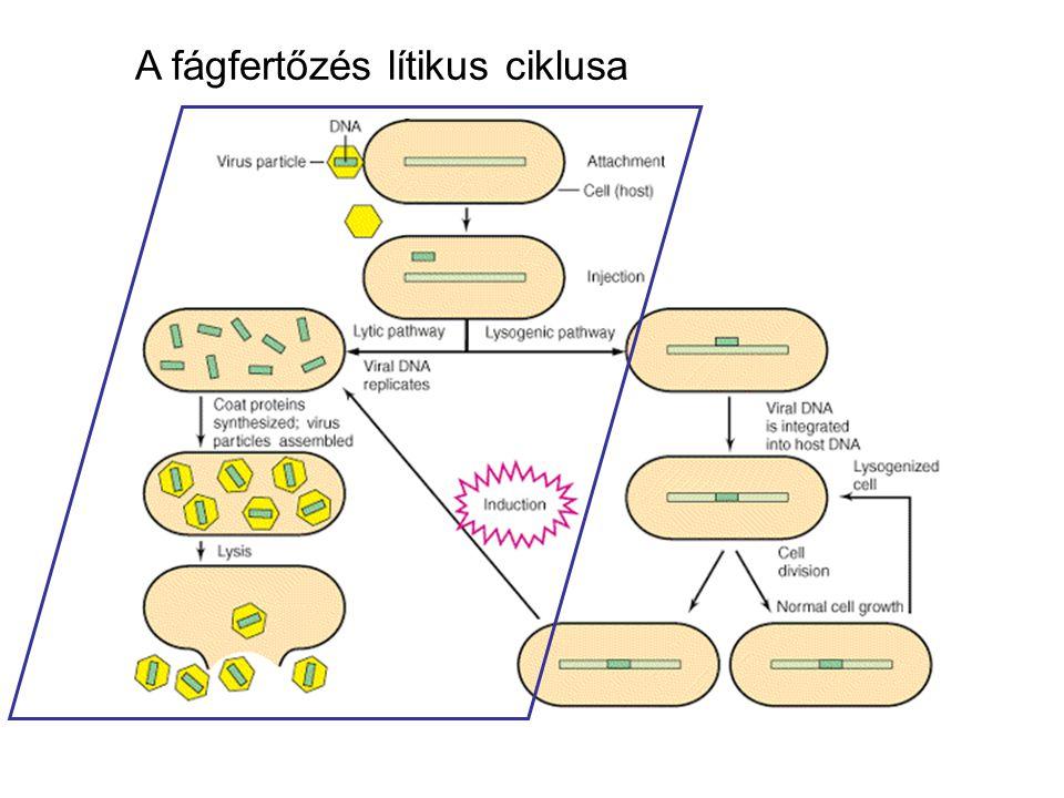 A fágfertőzés lítikus ciklusa