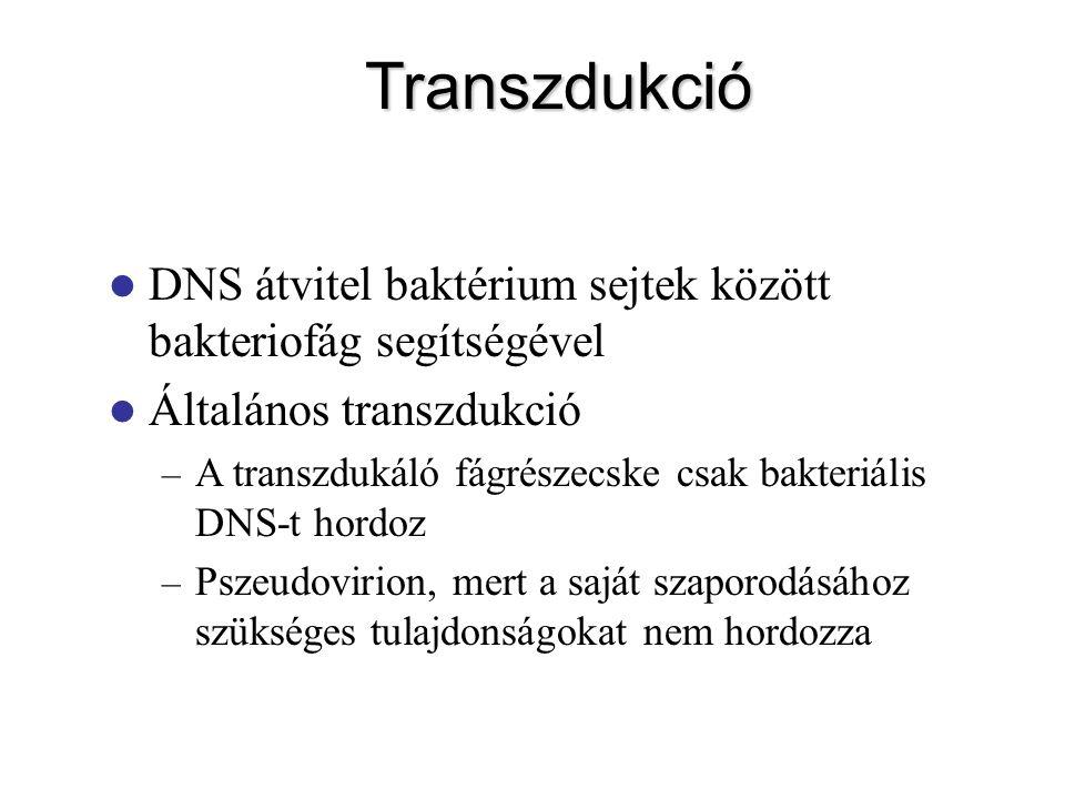 Transzdukció DNS átvitel baktérium sejtek között bakteriofág segítségével Általános transzdukció – A transzdukáló fágrészecske csak bakteriális DNS-t