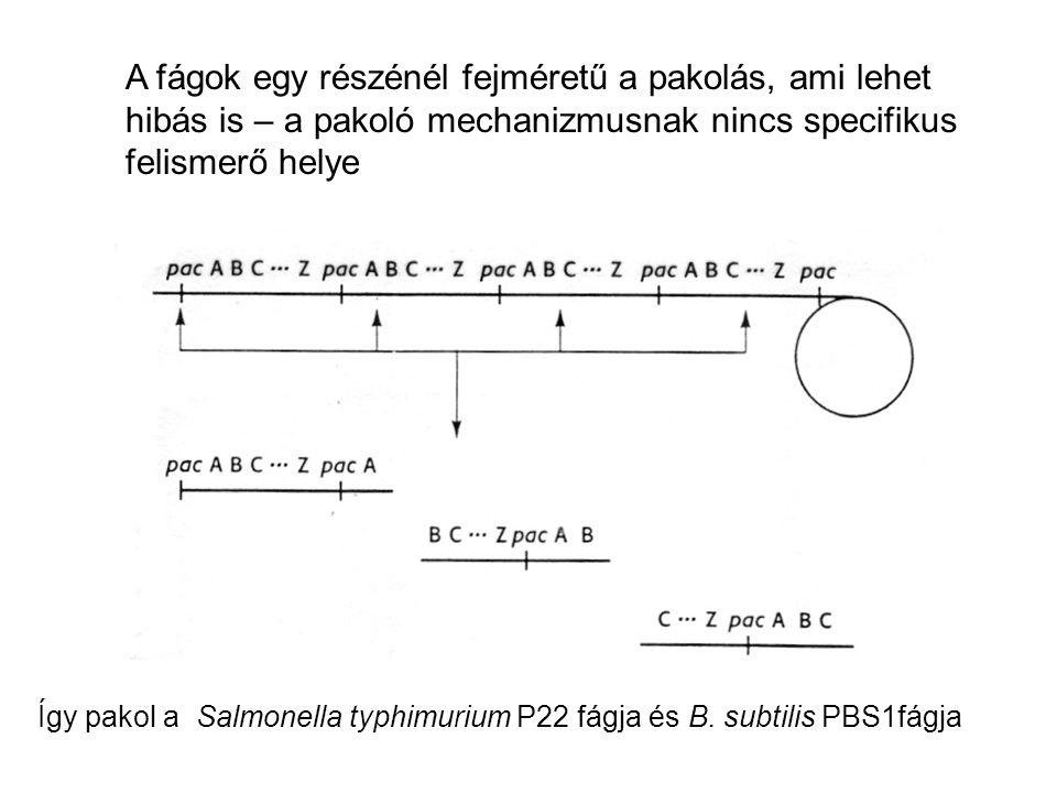 A fágok egy részénél fejméretű a pakolás, ami lehet hibás is – a pakoló mechanizmusnak nincs specifikus felismerő helye Így pakol a Salmonella typhimu