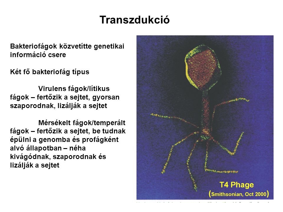 Transzdukció Bakteriofágok közvetítte genetikai információ csere Két fő bakteriofág típus Virulens fágok/lítikus fágok – fertőzik a sejtet, gyorsan sz