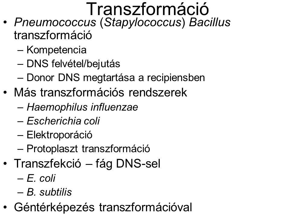 Transzformáció Pneumococcus (Stapylococcus) Bacillus transzformáció –Kompetencia –DNS felvétel/bejutás –Donor DNS megtartása a recipiensben Más transz