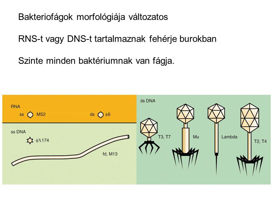Bakteriofágok morfológiája változatos RNS-t vagy DNS-t tartalmaznak fehérje burokban Szinte minden baktériumnak van fágja.