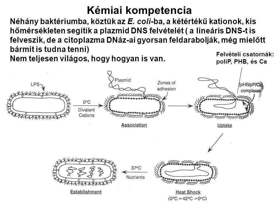 Kémiai kompetencia Néhány baktériumba, köztük az E. coli-ba, a kétértékű kationok, kis hőmérsékleten segítik a plazmid DNS felvételét ( a lineáris DNS