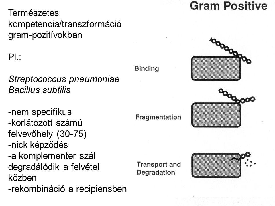 Természetes kompetencia/transzformáció gram-pozitívokban Pl.: Streptococcus pneumoniae Bacillus subtilis -nem specifikus -korlátozott számú felvevőhel