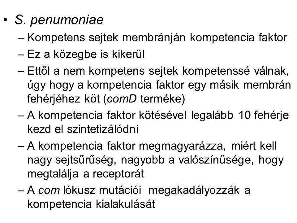 S. penumoniae –Kompetens sejtek membránján kompetencia faktor –Ez a közegbe is kikerül –Ettől a nem kompetens sejtek kompetenssé válnak, úgy hogy a ko