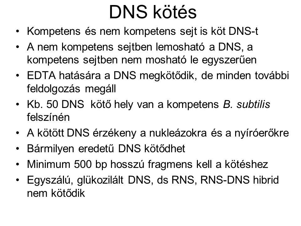 DNS kötés Kompetens és nem kompetens sejt is köt DNS-t A nem kompetens sejtben lemosható a DNS, a kompetens sejtben nem mosható le egyszerűen EDTA hat