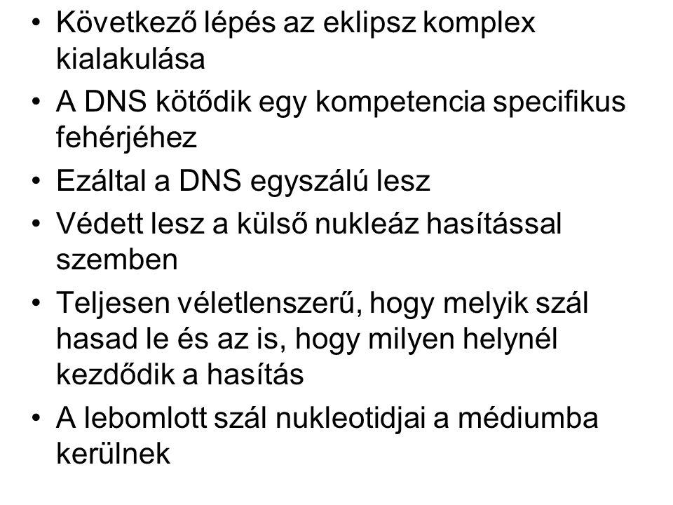 Következő lépés az eklipsz komplex kialakulása A DNS kötődik egy kompetencia specifikus fehérjéhez Ezáltal a DNS egyszálú lesz Védett lesz a külső nuk