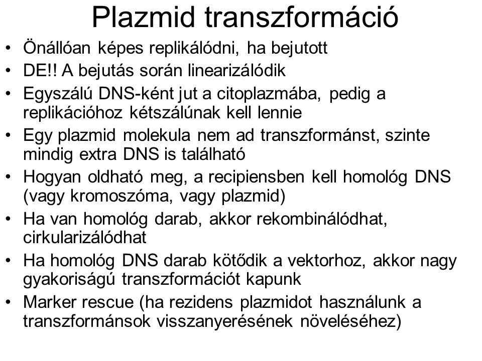 Plazmid transzformáció Önállóan képes replikálódni, ha bejutott DE!! A bejutás során linearizálódik Egyszálú DNS-ként jut a citoplazmába, pedig a repl