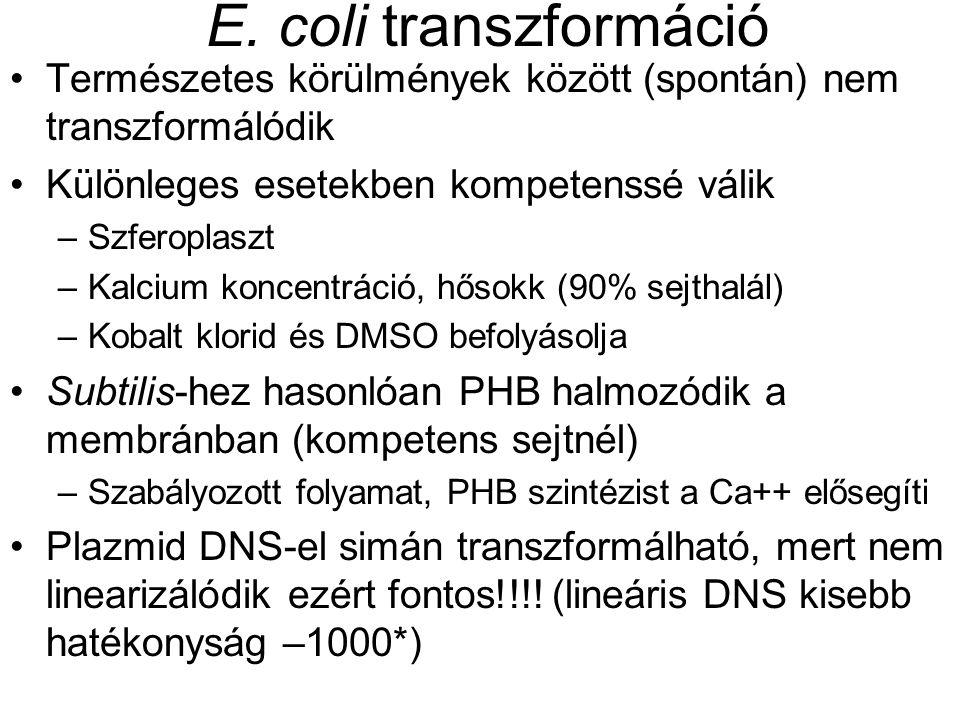 E. coli transzformáció Természetes körülmények között (spontán) nem transzformálódik Különleges esetekben kompetenssé válik –Szferoplaszt –Kalcium kon