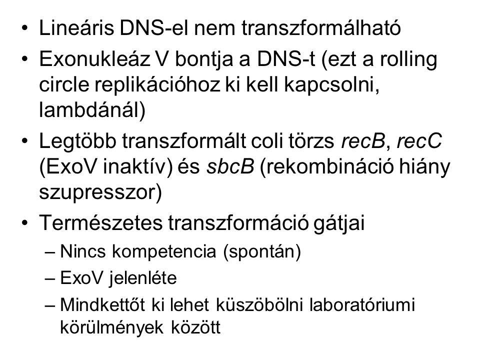 Lineáris DNS-el nem transzformálható Exonukleáz V bontja a DNS-t (ezt a rolling circle replikációhoz ki kell kapcsolni, lambdánál) Legtöbb transzformá