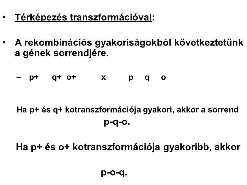 Térképezés transzformációval: A rekombinációs gyakoriságokból következtetünk a gének sorrendjére. –p+q+ o+x p q o Ha p+ és q+ kotranszformációja gyako