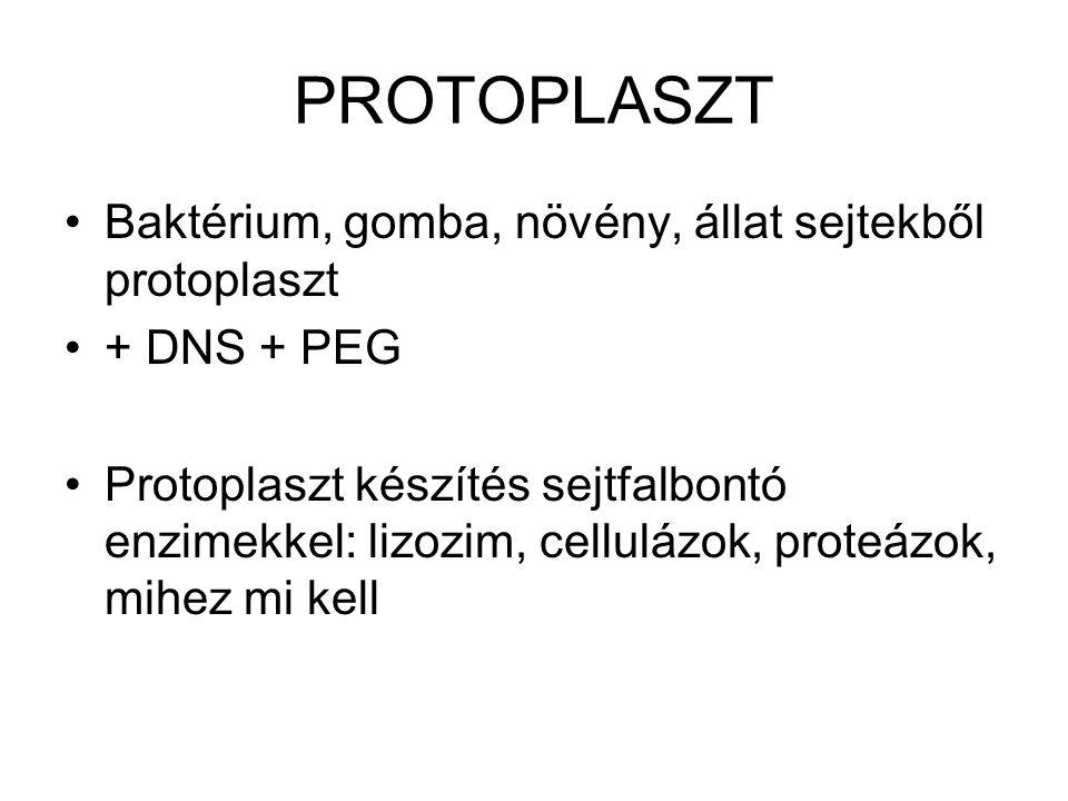 PROTOPLASZT Baktérium, gomba, növény, állat sejtekből protoplaszt + DNS + PEG Protoplaszt készítés sejtfalbontó enzimekkel: lizozim, cellulázok, prote