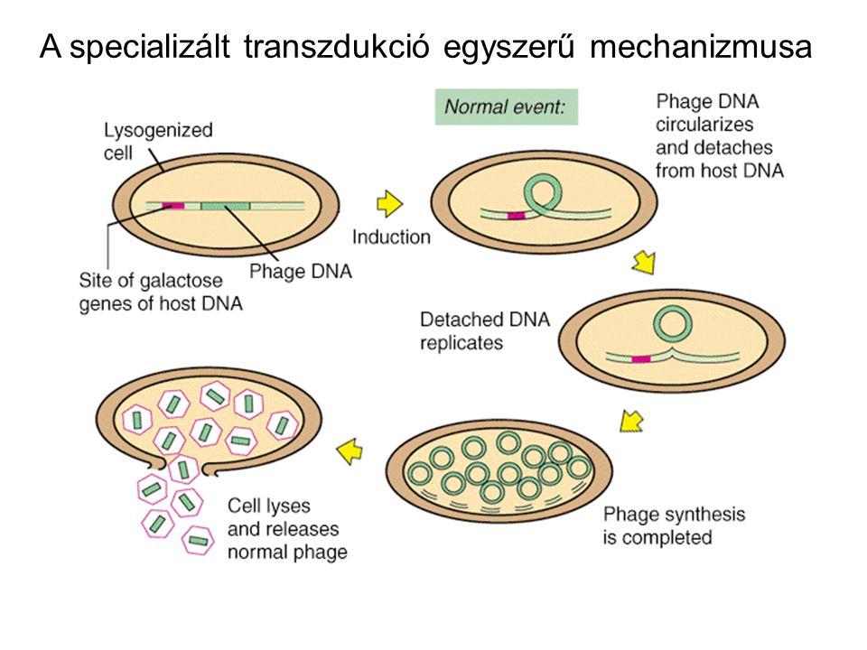 Genetikai térképezés transzformációval a + b + b+b+ a+a+ a - b - recipiens transzformációja Ha a + b + kapcsoltak (fizikailag közel vannak egymáshoz), a + b +, a + b - és a - b + rekombinánsokat kaphatunk.