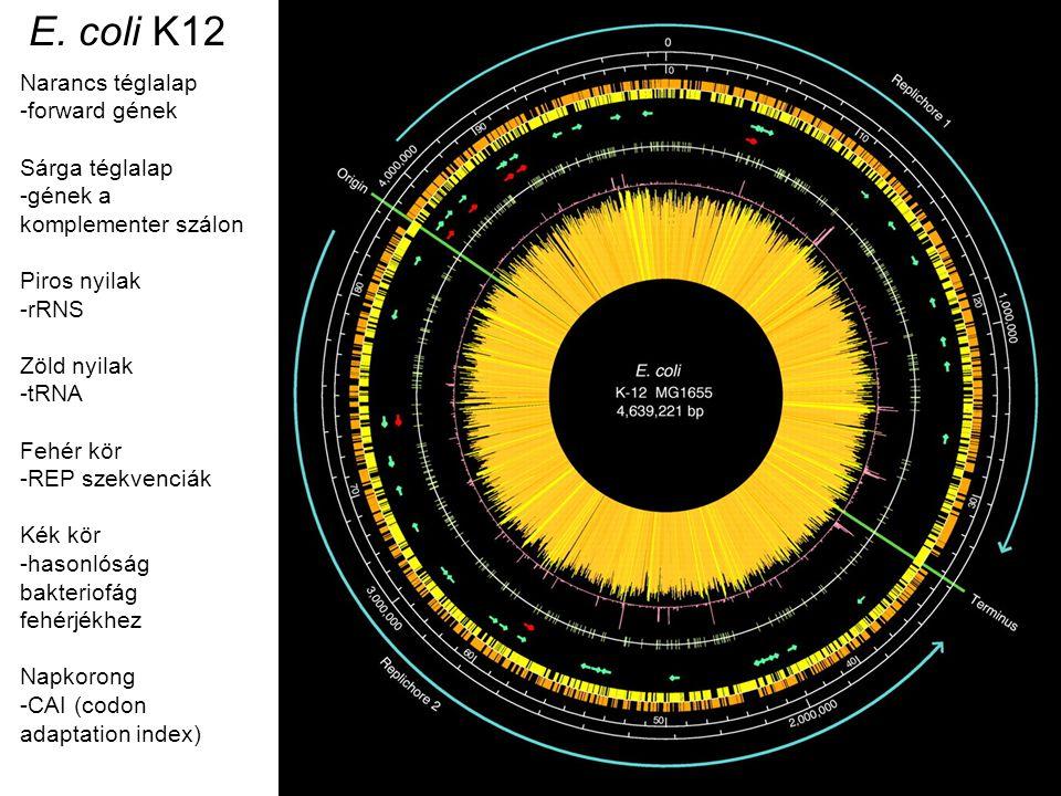 E. coli K12 Narancs téglalap -forward gének Sárga téglalap -gének a komplementer szálon Piros nyilak -rRNS Zöld nyilak -tRNA Fehér kör -REP szekvenciá
