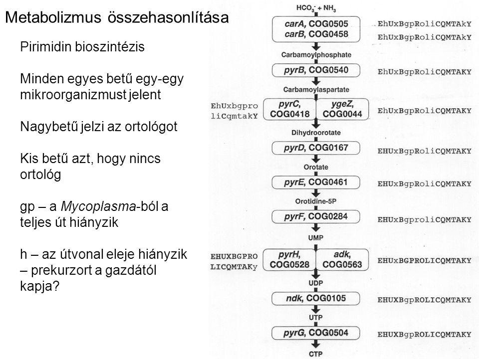 Metabolizmus összehasonlítása Pirimidin bioszintézis Minden egyes betű egy-egy mikroorganizmust jelent Nagybetű jelzi az ortológot Kis betű azt, hogy