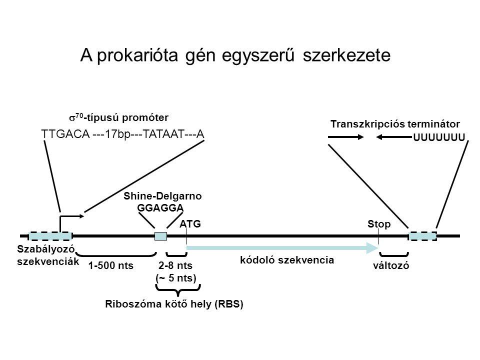 ATG GGAGGA 2-8 nts (~ 5 nts) Shine-Delgarno Stop Riboszóma kötő hely (RBS) TTGACA ---17bp---TATAAT---A  70 -típusú promóter Szabályozó szekvenciák 1-