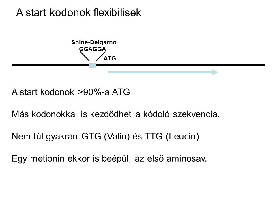A start kodonok flexibilisek ATG GGAGGA Shine-Delgarno A start kodonok >90%-a ATG Más kodonokkal is kezdődhet a kódoló szekvencia. Nem túl gyakran GTG