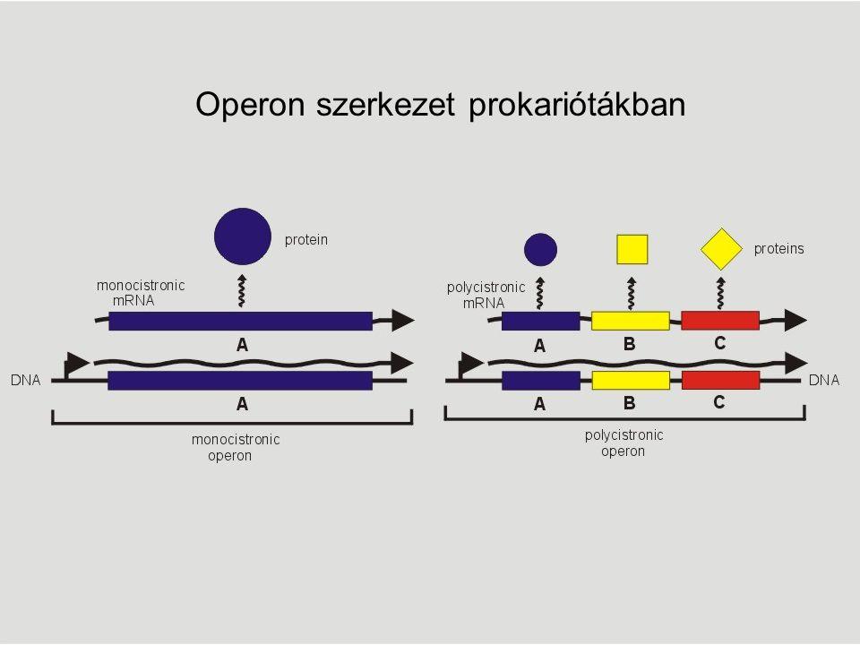Operon szerkezet prokariótákban