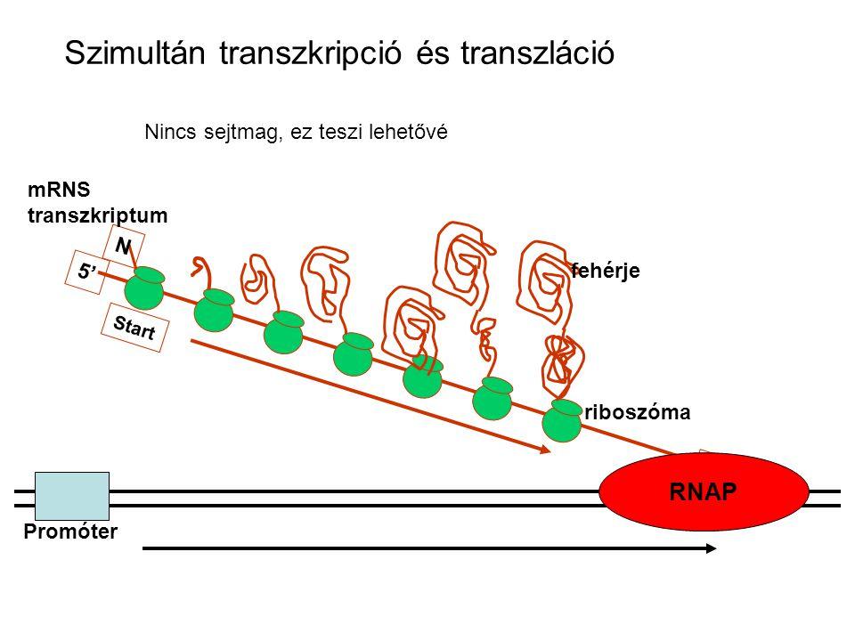A gének operononokba szerveződnek TTGTGA - 30 nts - AAGAGGGCACCGATGGCG AB C A gén végeB gén kezdete CTCTTGGAGGACGCATGACG GGAGGACGCATGACG B gén vége C gén kezdete intergénes spacer Nem átfedő átfedő transzlációs csatolás (coupling) (riboszóma nem disszociál)