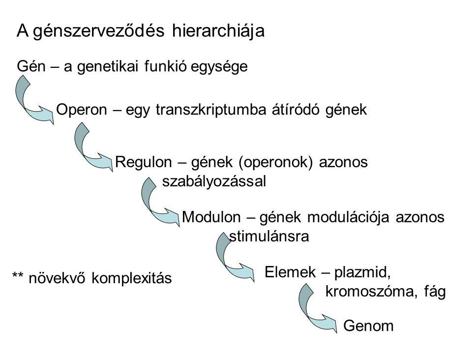 A génszerveződés hierarchiája Gén – a genetikai funkió egysége Operon – egy transzkriptumba átíródó gének Regulon – gének (operonok) azonos szabályozá