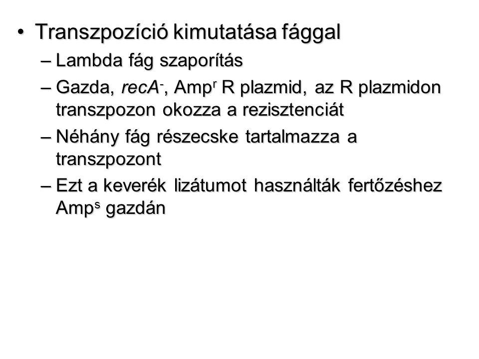 Transzpozíció kimutatása fággalTranszpozíció kimutatása fággal –Lambda fág szaporítás –Gazda, recA -, Amp r R plazmid, az R plazmidon transzpozon okozza a rezisztenciát –Néhány fág részecske tartalmazza a transzpozont –Ezt a keverék lizátumot használták fertőzéshez Amp s gazdán