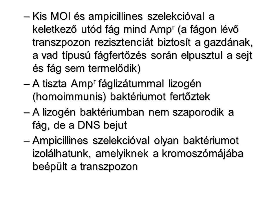 –Kis MOI és ampicillines szelekcióval a keletkező utód fág mind Amp r (a fágon lévő transzpozon rezisztenciát biztosít a gazdának, a vad típusú fágfertőzés során elpusztul a sejt és fág sem termelődik) –A tiszta Amp r fáglizátummal lizogén (homoimmunis) baktériumot fertőztek –A lizogén baktériumban nem szaporodik a fág, de a DNS bejut –Ampicillines szelekcióval olyan baktériumot izolálhatunk, amelyiknek a kromoszómájába beépült a transzpozon