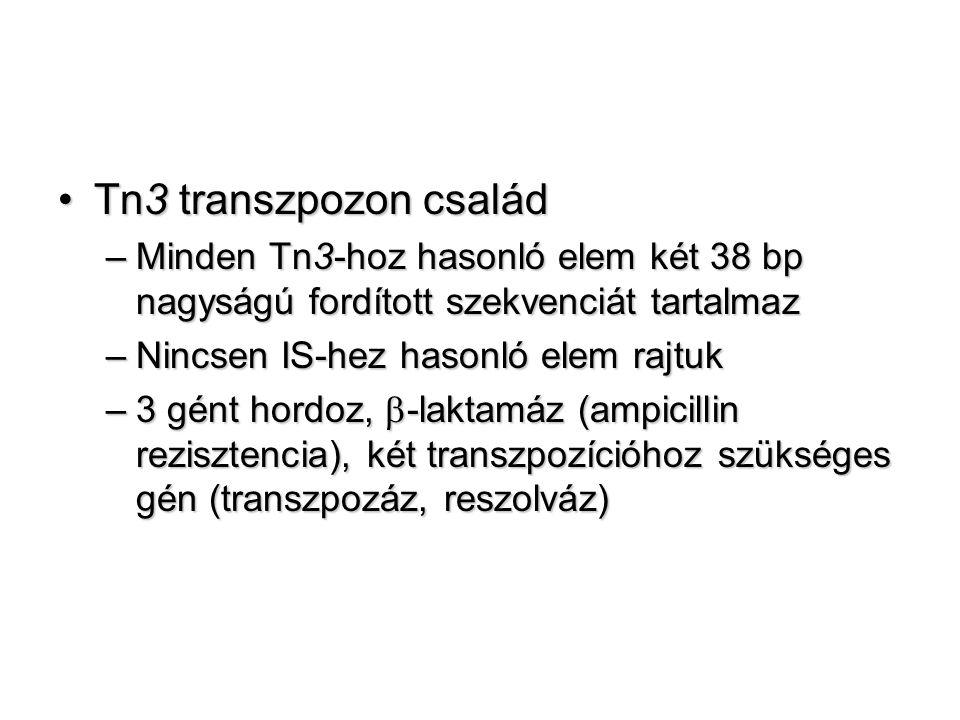 Tn3 transzpozon családTn3 transzpozon család –Minden Tn3-hoz hasonló elem két 38 bp nagyságú fordított szekvenciát tartalmaz –Nincsen IS-hez hasonló elem rajtuk –3 gént hordoz,  -laktamáz (ampicillin rezisztencia), két transzpozícióhoz szükséges gén (transzpozáz, reszolváz)
