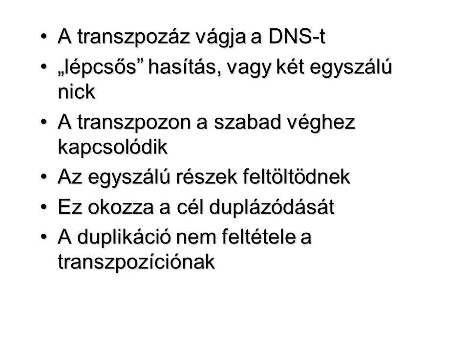 """A transzpozáz vágja a DNS-tA transzpozáz vágja a DNS-t """"lépcsős"""" hasítás, vagy két egyszálú nick""""lépcsős"""" hasítás, vagy két egyszálú nick A transzpozo"""