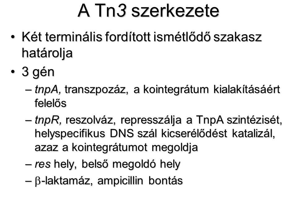 A Tn3 szerkezete Két terminális fordított ismétlődő szakasz határoljaKét terminális fordított ismétlődő szakasz határolja 3 gén3 gén –tnpA, transzpozáz, a kointegrátum kialakításáért felelős –tnpR, reszolváz, represszálja a TnpA szintézisét, helyspecifikus DNS szál kicserélődést katalizál, azaz a kointegrátumot megoldja –res hely, belső megoldó hely –  -laktamáz, ampicillin bontás