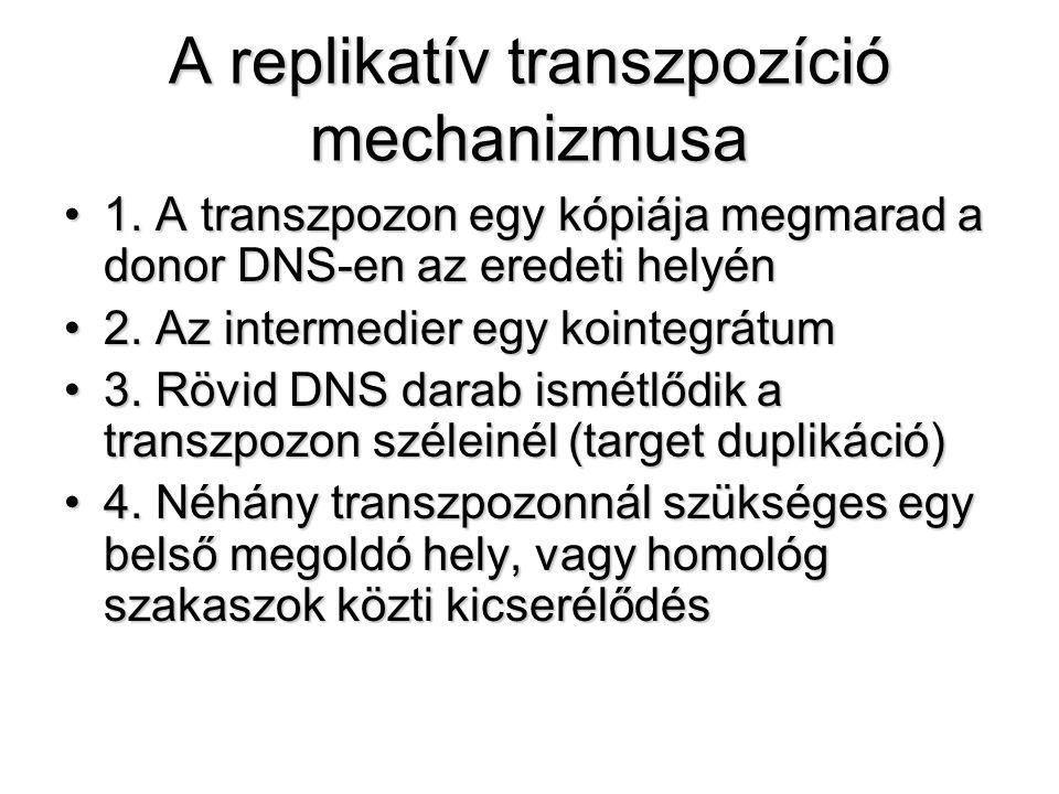 A replikatív transzpozíció mechanizmusa 1. A transzpozon egy kópiája megmarad a donor DNS-en az eredeti helyén1. A transzpozon egy kópiája megmarad a