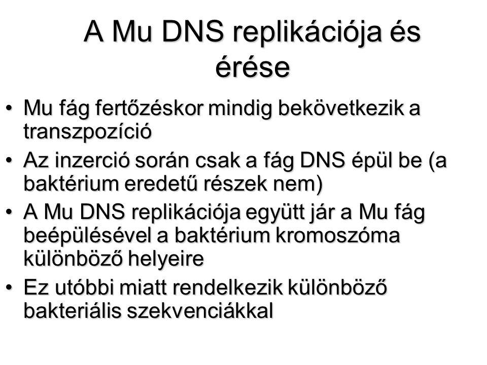 A Mu DNS replikációja és érése Mu fág fertőzéskor mindig bekövetkezik a transzpozícióMu fág fertőzéskor mindig bekövetkezik a transzpozíció Az inzerció során csak a fág DNS épül be (a baktérium eredetű részek nem)Az inzerció során csak a fág DNS épül be (a baktérium eredetű részek nem) A Mu DNS replikációja együtt jár a Mu fág beépülésével a baktérium kromoszóma különböző helyeireA Mu DNS replikációja együtt jár a Mu fág beépülésével a baktérium kromoszóma különböző helyeire Ez utóbbi miatt rendelkezik különböző bakteriális szekvenciákkalEz utóbbi miatt rendelkezik különböző bakteriális szekvenciákkal