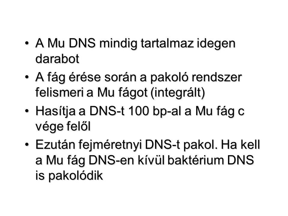 A Mu DNS mindig tartalmaz idegen darabotA Mu DNS mindig tartalmaz idegen darabot A fág érése során a pakoló rendszer felismeri a Mu fágot (integrált)A