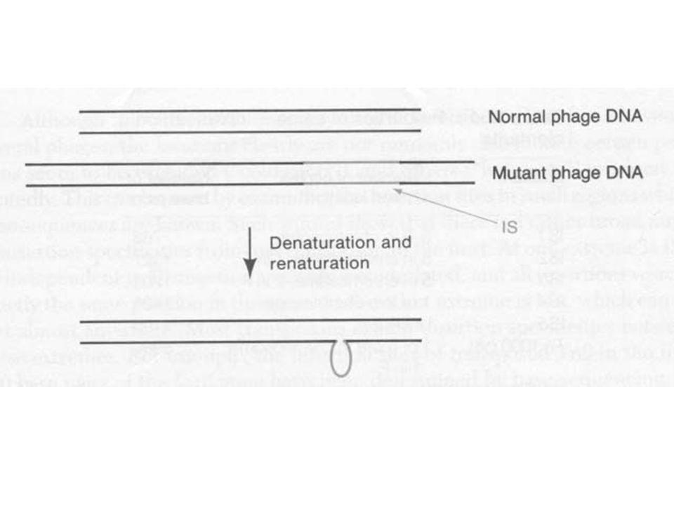 Mu fág A Mu mérsékelt fág (mutátor)A Mu mérsékelt fág (mutátor) 38 kb DNS, melynek végei különbözők38 kb DNS, melynek végei különbözők Mu fág DNS denaturáció és renaturáció után komplementer és nem komplementer részeket mutatMu fág DNS denaturáció és renaturáció után komplementer és nem komplementer részeket mutat A nem komplementer szekvencia baktérium eredetű, minden fág részecskében másA nem komplementer szekvencia baktérium eredetű, minden fág részecskében más Ha a Mu DNS alfa régiójának hossza változik, az egyik nem komplementer vég hossza állandó, míg a másik (hosszabb) változikHa a Mu DNS alfa régiójának hossza változik, az egyik nem komplementer vég hossza állandó, míg a másik (hosszabb) változik G régió, inverzió lehet, a gazdaspecifikusságért felelősG régió, inverzió lehet, a gazdaspecifikusságért felelős