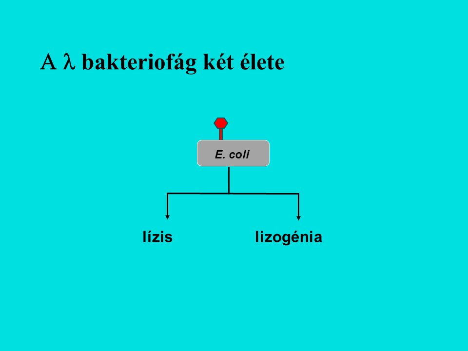 A fág szabályozó régójának genetikai térképe pLpEpR'paQpI croNcIIIQcIIcIint Dale Kaiser, 1957: Történetesen három gén szükséges a lizogén útvonal szabályozásához.