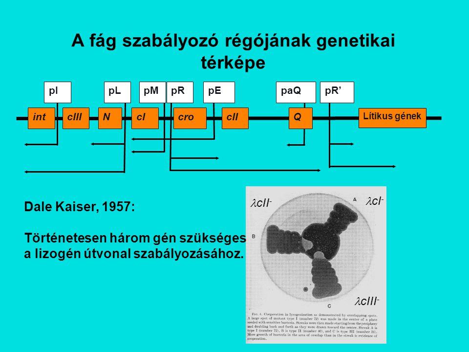 Röviden: A genetikai hálózat pR N Cro pL Korai gén expresszió: Transzkripció kezdődik a pL és pR promótereknél és a terminációs szignáloknál befejeződik.