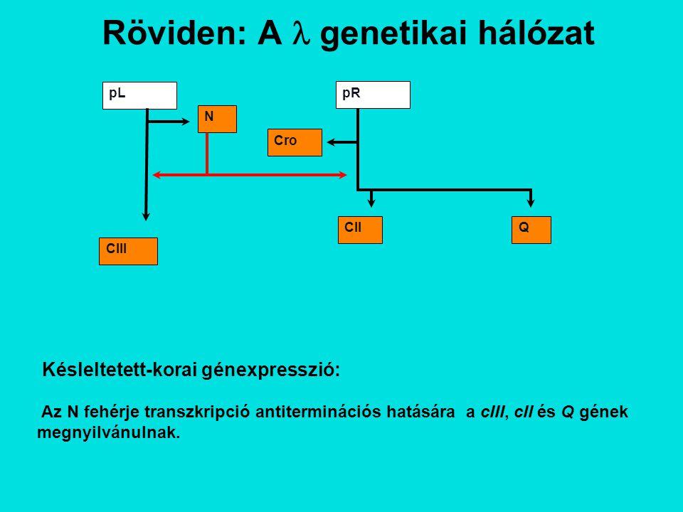 Röviden: A genetikai hálózat pL pR N QCII Cro CIII Késleltetett-korai génexpresszió: Az N fehérje transzkripció antiterminációs hatására a cIII, cII és Q gének megnyilvánulnak.