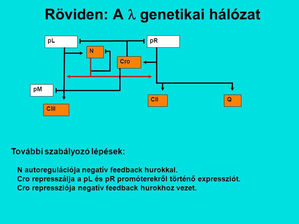 Röviden: A genetikai hálózat Lítikus útvonal: Q antiterminálja a pR' promóterről induló transzkripciót, így a lítikus gének nyilvánulnak meg.