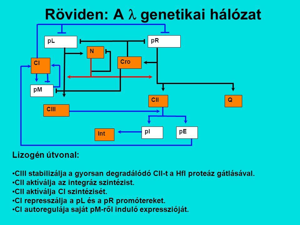 Röviden: A genetikai hálózat Lizogén útvonal: CIII stabilizálja a gyorsan degradálódó CII-t a Hfl proteáz gátlásával.